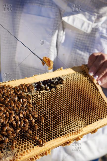 Bee Keeper scraping honey from a honey comb at sunrise in Yerington, Nevada.