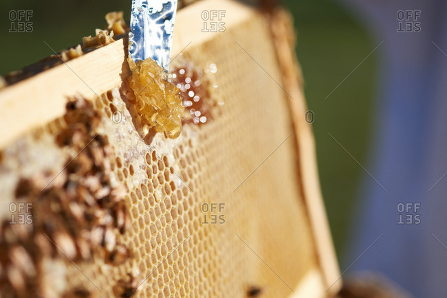 Bee Keeper scraping honey from a honey comb at sunrise in Yerington, Nevada.