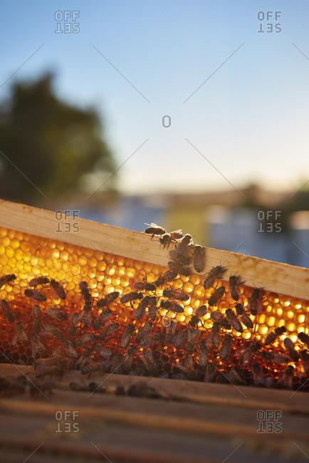 Back lit honeycomb at sunrise in the desert of Yerington, Nevada.