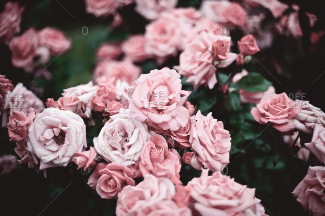 Close up of beautiful roses in a rose garden