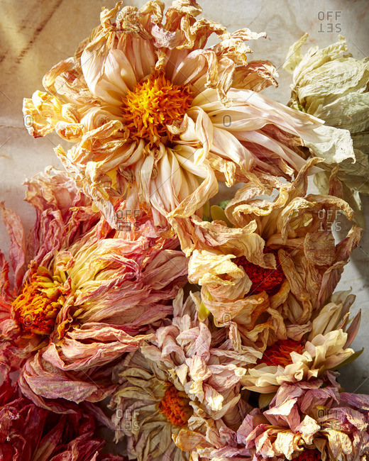 Dried dahlias