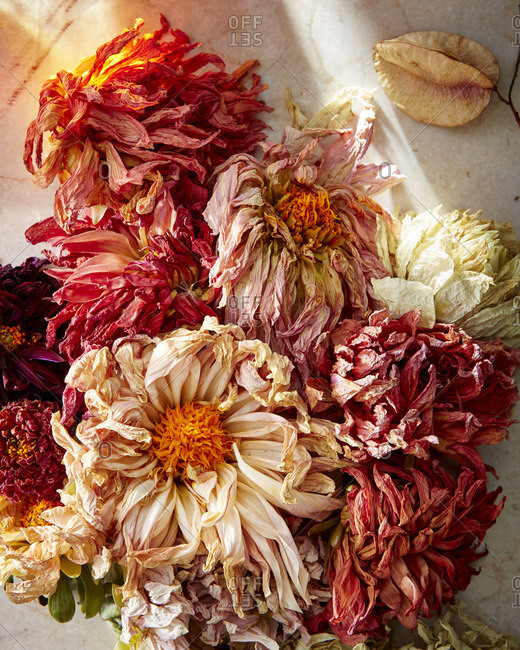 Dried dahlias on a light background
