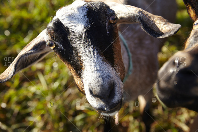 Close up of goat with floppy ears