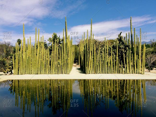 Organ Pipe Cactus in Oaxaca's Ethnobotanical Garden
