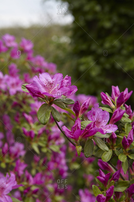 Pink azalea branch - Offset Collection