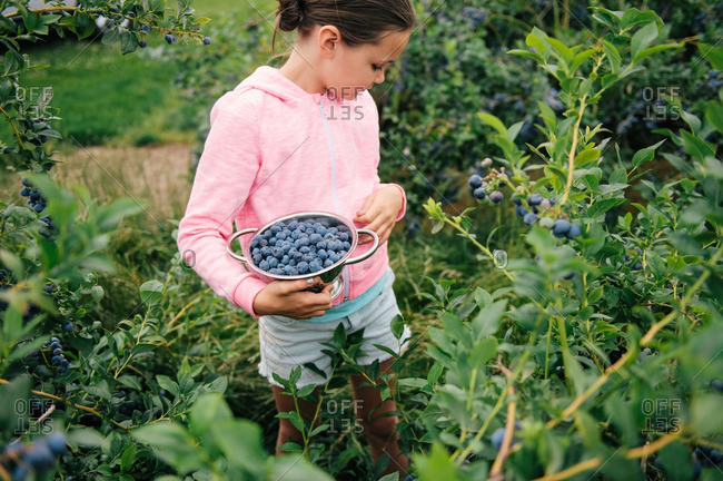 Girl picking fresh blueberries from bushes