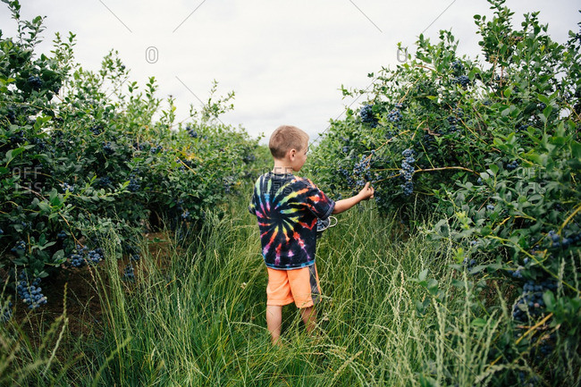 Boy in a tie dye shirt picking blueberries