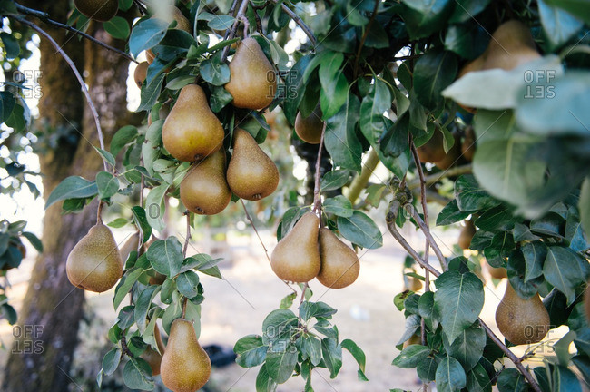 Ripe pears hanging from branches in an orchard