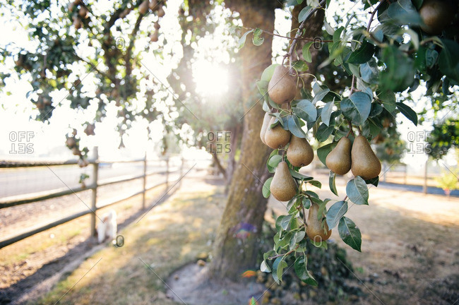 Ripe pears on a tree in an orchard