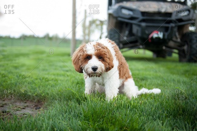Dog Sitting On A Lawn Hunched Over Stock Photo Offset