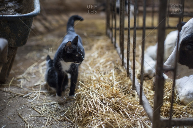Cats and calf on farm