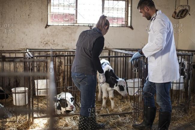 Vet and female farmer looking at calf on farm