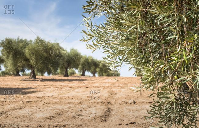 Spain- Ciudad Real- olive tree plantation