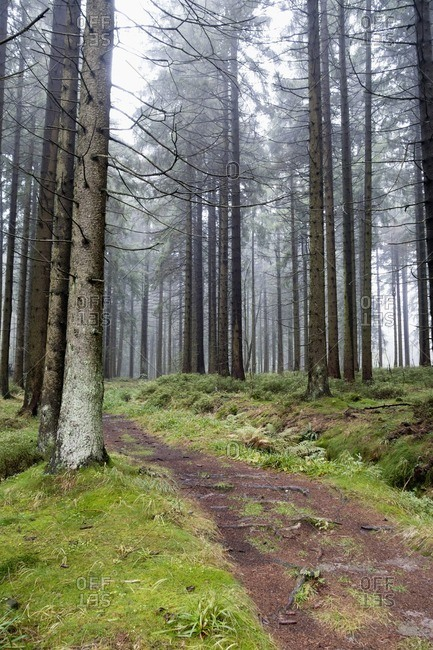 Germany- Harz- Foggy forest