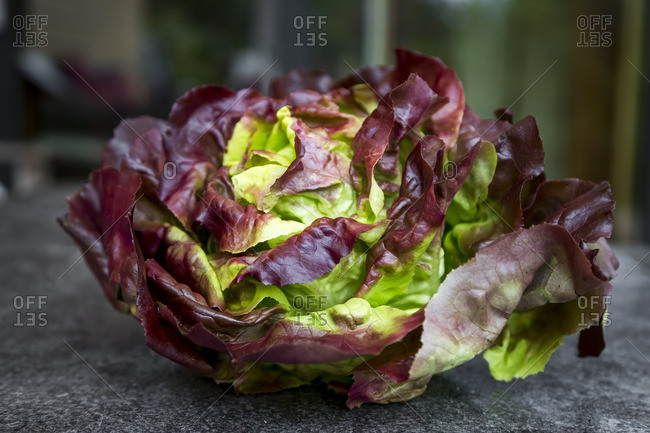 Red butterhead lettuce- close up