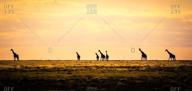 Namibia- Etosha National Park- Group of giraffes in morning light