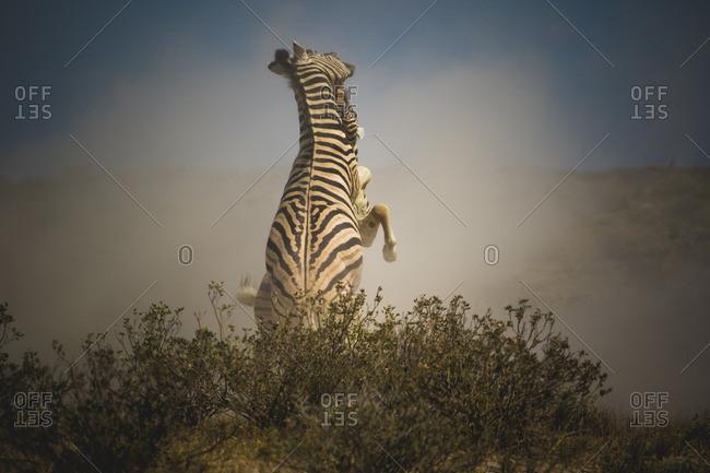 Namibia- Etosha National Park- Fighting zebras