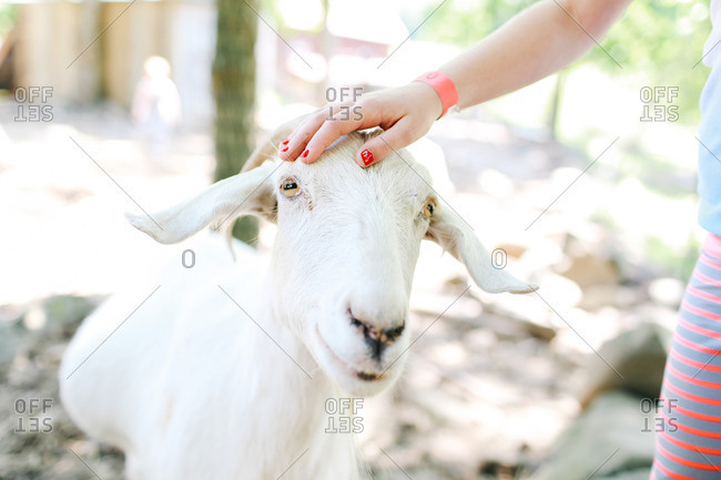 Hand of a little girl petting a goat