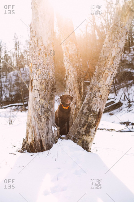 Dog sitting between three trees in the snow