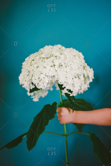Child's hand holding a large white hydrangea blossom
