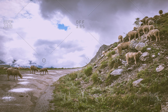 Herds of sheep wander onto the road of a French mountains pass in the Southern Alps