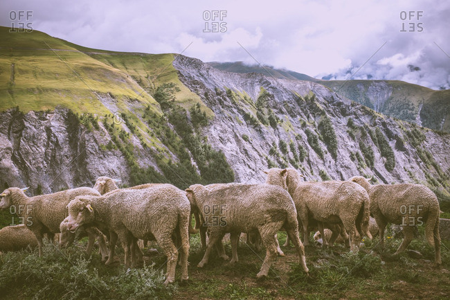 Herds of sheep wander on a French mountains pass of the Southern Alps