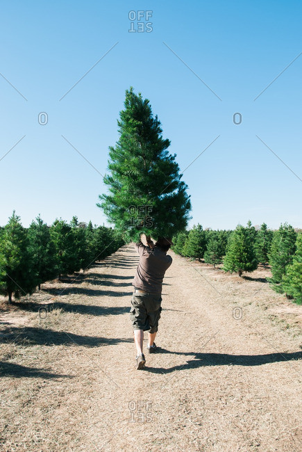 Man carrying Christmas tree on a tree farm