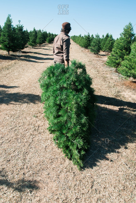 Man dragging Christmas tree on a tree farm