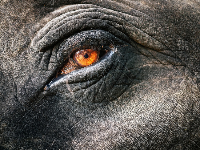 Close up of an elephant's eye
