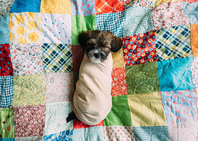 A puppy swaddled in blanket