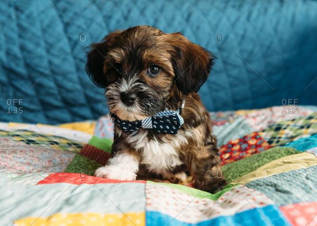 Puppy in bowtie on quilt