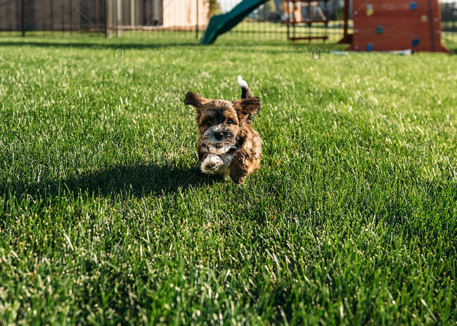 Puppy running through summer yard