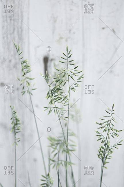 Tall grass against white wall