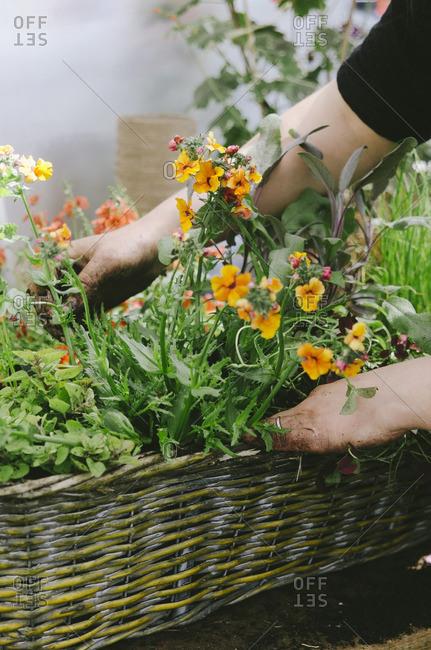 Woman's hands touching orange flowers