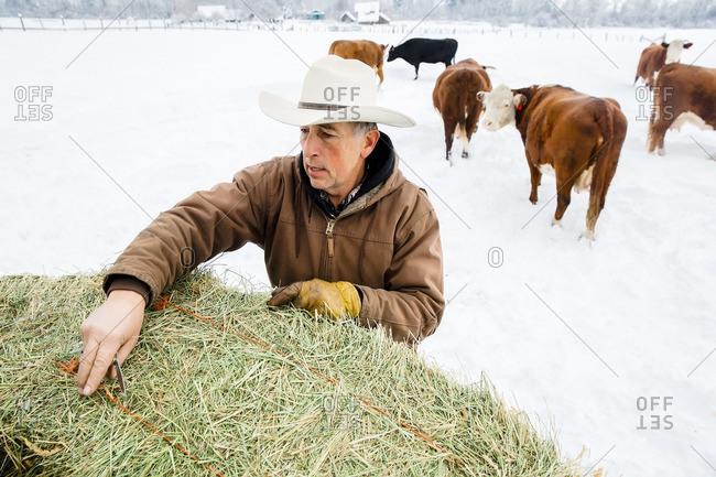 Caucasian farmer hauling hay in snowy field
