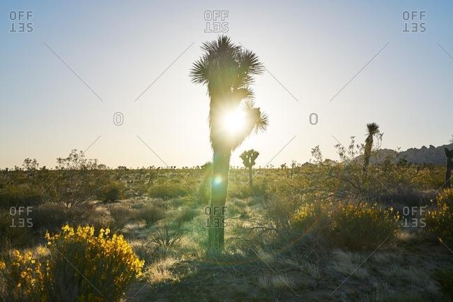 Joshua Tree National Park in sunlight