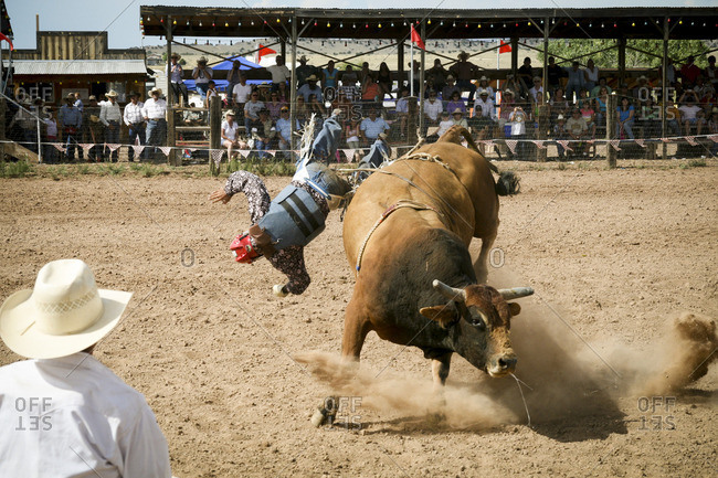 Bull rider falling during rodeo