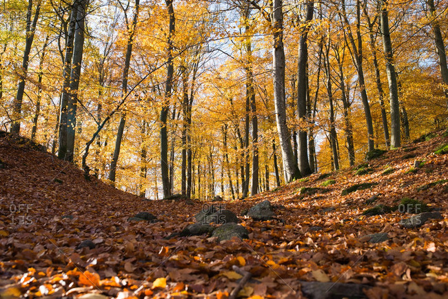 Hilly forest covered in fallen autumn leaves