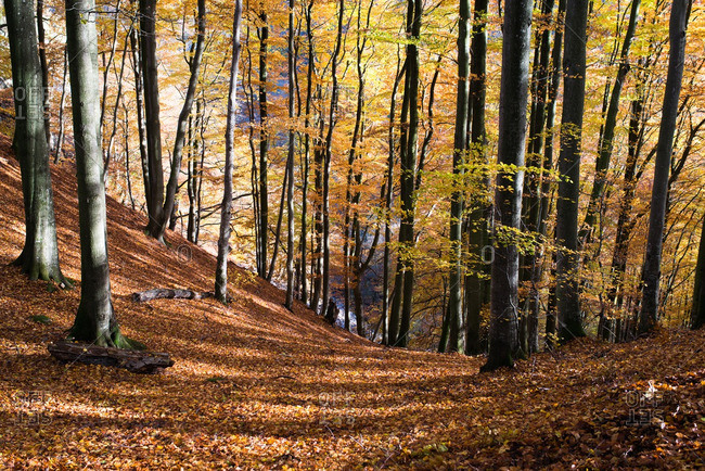 Hilly woods covered in fallen autumn leaves