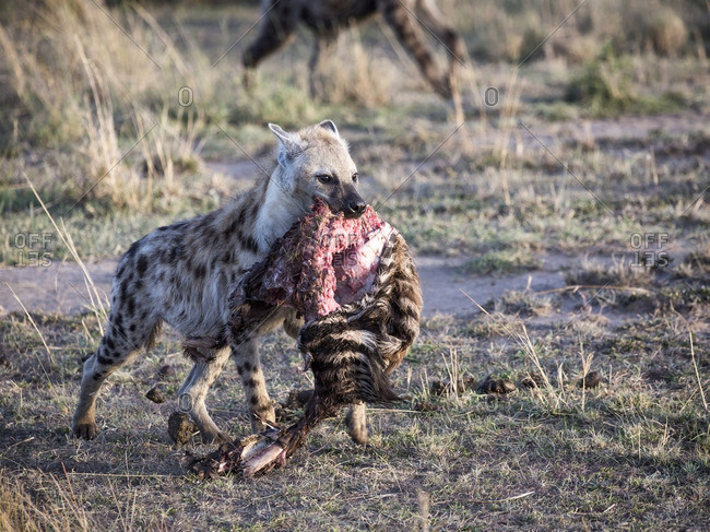 A hyena carrying a zebra foal carcass that it has been feeding on