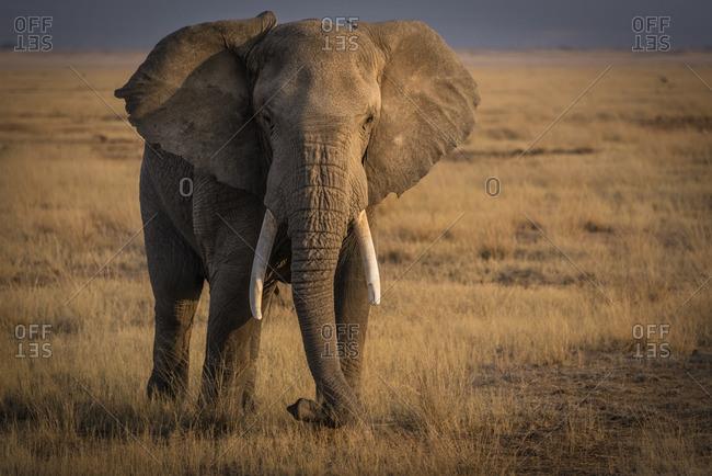 African elephant on the savannah