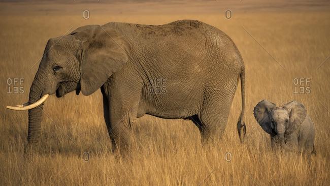 Elephant with calf on golden savannah