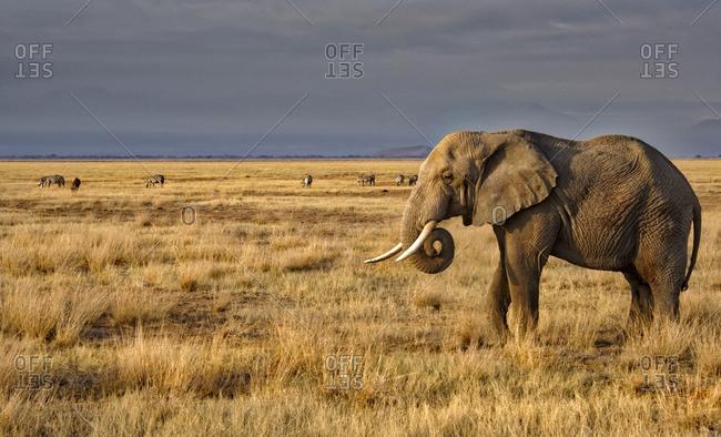 Elephant with zebras on a grassy plain