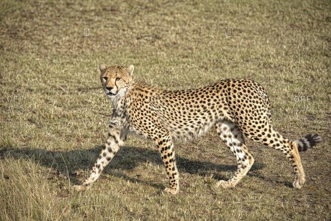 Alert cheetah in Kenya, Africa