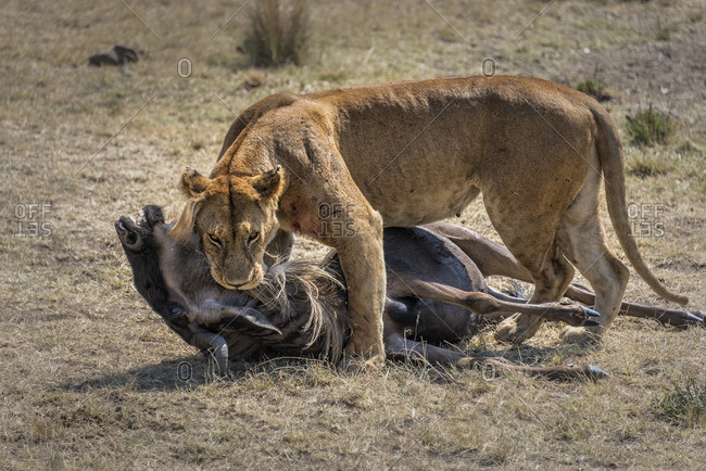 Lioness killing a wildebeest