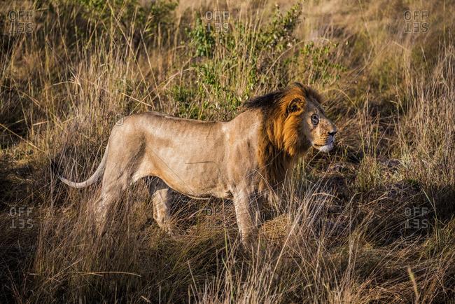 Male lion standing on savannah