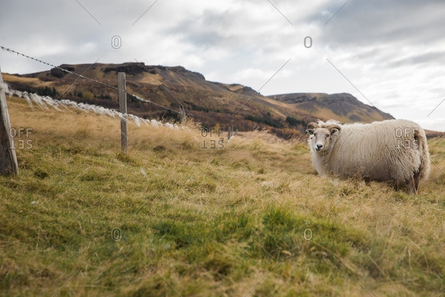 Sheep on a hillside in Iceland