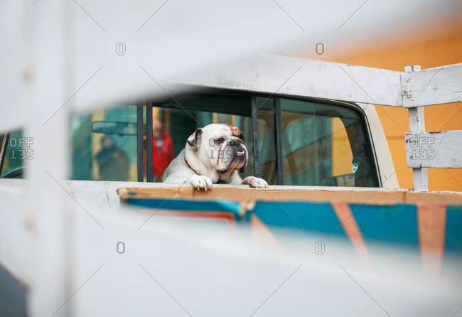 Bulldog looking out the back window of a truck