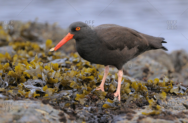 American Black Oystercatcher (Haematopus bachmani) standing in seaweed on rocks with a mollusk in its beak.