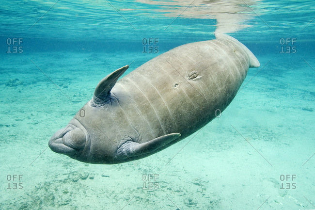 Florida manatee (Trichechus manatus latirostris), Crystal River, west-central Florida, U.S.A.